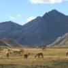 Beautiful alpacas at Willca camp