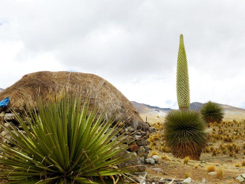 Puya raimondi cactus